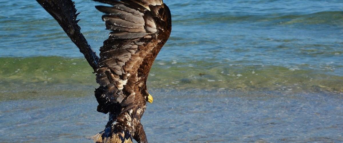Isle of Wight Eagle